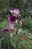 Bel iris de Barbatum sur un parterre en parc Photos stock