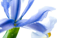 Bel iris frais image stock