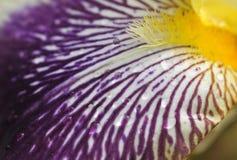 bel iris frais Photo libre de droits