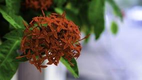 Bel Ixora rouge Photographie stock libre de droits