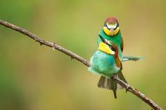 Bel oiseau - accouplement européen d'apiaster de Merops de mangeurs d'abeille photos stock