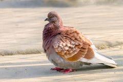 Bel oiseau animal de pigeon se reposant au sol Photographie stock libre de droits