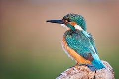 Bel oiseau - atthis communs d'Alcedo de martin-pêcheur se reposant sur un beau fond images stock