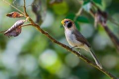 Bel oiseau brun sur la branche avec le fond vert photographie stock
