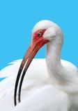 Bel oiseau d'isolement sur bleu-clair Images stock
