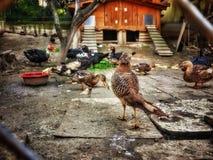 Bel oiseau dans la vue de ferme de poulets du dos photo stock