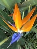 Bel oiseau de fleur de paradis photos libres de droits