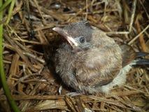 Bel oiseau de FLYCATCHER de Brown d'Asiatique image libre de droits