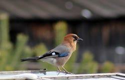 Bel oiseau de geai Photographie stock