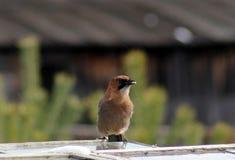 Bel oiseau de geai Photos stock