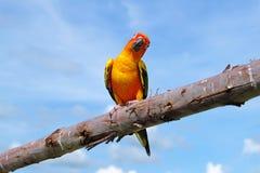 Bel oiseau de Sun Conure Image stock