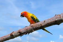 Bel oiseau de Sun Conure Photographie stock
