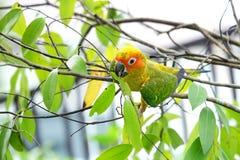 Bel oiseau de Sun Conure Photos libres de droits