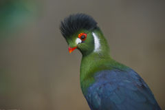 Bel oiseau de Turaco Photos stock