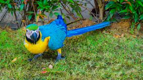 Bel oiseau jaune et bleu de perroquet de macore photo libre de droits