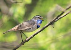 bel oiseau masculin lumineux de gorge bleue se reposant sur une branche et photographie stock libre de droits