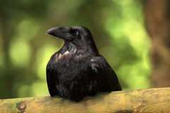 Bel oiseau noir de corneille (corone de Corvus) Photos stock