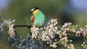 Bel oiseau sauvage se reposant parmi le matin de fleurs d'acacia au printemps banque de vidéos