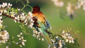 Bel oiseau se reposant sur une branche parmi les fleurs de l'acacia blanc banque de vidéos