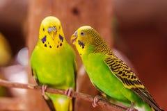 Bel oiseau vert d'amour de perroquet Images libres de droits