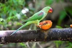 Bel oiseau vert de perroquet d'eclectus Photo stock