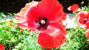 Bel opium ou pavot ou Papaver somniferum ou afeem rouge photo stock
