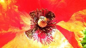 Bel opium ou pavot ou Papaver somniferum ou afeem rouge photos stock