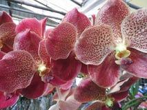 Bel Orchidaceae d'Orchidee images stock