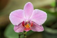 Bel Orchis en nature image stock