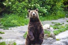 Bel ours de Brown se tenant sur ses jambes à côté de l'eau photos libres de droits
