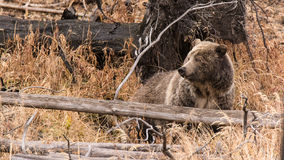 Bel ours gris Photographie stock