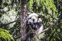 Bel ours panda d'élevage jouant dans un arbre Photo libre de droits