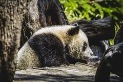 Bel ours panda d'élevage jouant dans un arbre Image libre de droits