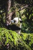 Bel ours panda d'élevage jouant dans un arbre Photo stock