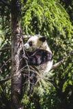 Bel ours panda d'élevage jouant dans un arbre Photographie stock