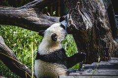 Bel ours panda d'élevage jouant dans un arbre Photos stock