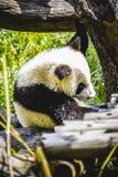 Bel ours panda d'élevage jouant dans un arbre Image stock
