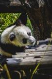 Bel ours panda d'élevage jouant dans un arbre Images stock