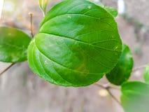 bel ovale de vert de feuille de nature de moulin de jujuba de Ziziphus photographie stock