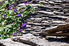 Bel s'élever pourpre de fleur de gloire de matin de fleur au printemps Photographie stock