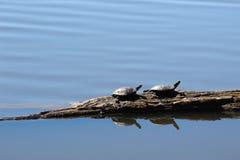 bela żółwie dwa Zdjęcia Royalty Free