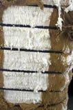 Bela bawełna Zdjęcie Stock