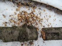 Bela cutted w dwa części przy dnem fotografia na śnieżnym kłamstwo ampuły trociny i, above zdjęcie stock