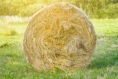 Bela siano w przedpolu w wsi, krowy jedzenie, gospodarstwo rolne, piękny naturalny tło obraz royalty free