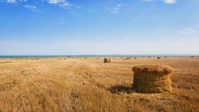 Bela z słomą na świeżej ścierni pszeniczny pole Zdjęcie Royalty Free
