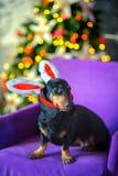 Belachelijke hond op een stoel Stock Fotografie