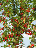 Beladener Holzapfel-Baum Stockfoto