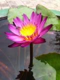 Belamente a flor de lótus foto de stock