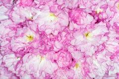 Belamente flores cor-de-rosa da cereja do japonês foto de stock royalty free