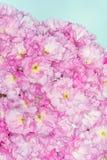Belamente flores cor-de-rosa da cereja do japonês fotografia de stock